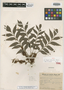 Roupala asplenioides Sleumer, BRAZIL, B. Rambo 49423, Isotype, F
