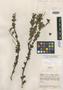 Roupala minima Steyerm., VENEZUELA, J. A. Steyermark 60234, Holotype, F