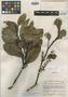 Roupala sororopana Steyerm., VENEZUELA, J. A. Steyermark 60089, Holotype, F