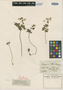 Isopyrum thalictroides var. pubescens Wierzb., Hungary, P. P. Wierzbicki s.n., Isotype, F