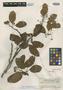 Photinia bartlettii Merr., Indonesia, H. H. Bartlett 8662, Isotype, F