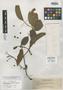 Pygeum decipiens Koehne, PHILIPPINES, A. D. E. Elmer 11910, Isosyntype, F