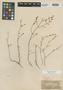 Asperula breviflora Boiss., Syria, E. Boissier s.n., Type [status unknown], F