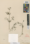 Galium pisiferum Boiss., Syria, E. Boissier, Type [status unknown], F