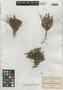 Houstonia polypremoides image