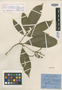 Joosia umbellifera subsp. macarenensis Steyerm., COLOMBIA, W. R. Philipson 2072, Isotype, F