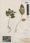 Ophiorrhiza elmeri Merr., BRITISH NORTH BORNEO [Malaysia, East Malaysia, Sabah], A. D. E. Elmer 21139, Isotype, F