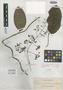 Paederia verticillata var. tomentella Elmer, PHILIPPINES, A. D. E. Elmer 13416, Isotype, F