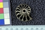 Cosmoceras, ammonite from Jurassic, Russia Ural Mountains