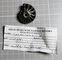 Cosmoceras, ammonite from Jurassic, Russia Ural Mountains, Fossil and label