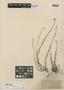 Haplophyllum fruticulosum Boiss., Syria, P. E. Boissier, Isotype, F