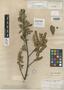 Salix bigelovii image