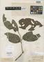 Matayba camptoneura Radlk., BRITISH GUIANA [Guyana], R. H. Schomburgk 332, Isosyntype, F