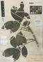 Matayba macrostylis Radlk., BRITISH GUIANA [Guyana], R. H. Schomburgk 783, Isosyntype, F