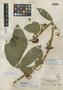 Paullinia baileyi Standl., PANAMA, L. H. Bailey 59, Holotype, F