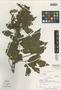 Paullinia brenesii Croat, PANAMA, T. B. Croat 26906, Isotype, F