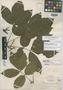Paullinia dodgei Standl., COSTA RICA, C. W. Dodge 9877, Holotype, F