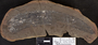 PP 58258 [HS, M] Taeniophyllum latifolium White, Moscovian / Desmoinesian, Francis Creek Shale Member, United States of America, Illinois, Grundy, Mazon Creek