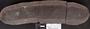 PP 58266 [HS, M] Taeniophyllum latifolium White, Moscovian / Desmoinesian, Francis Creek Shale Member, United States of America, Illinois, Grundy, Mazon Creek
