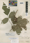 Paullinia wetmorei Standl., PANAMA, O. Shattuck 689, Holotype, F