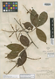 Paullinia acuminata Uittien, SURINAME, W. A. Archer 2749, Isotype, F