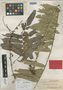 Otophora tricocca Radlk., BRITISH NORTH BORNEO [Malaysia, East Malaysia, Sabah], A. D. E. Elmer 20010, Syntype, F