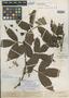 Paullinia caloptera Radlk., R. Spruce 1488, Isosyntype, F