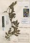 Paullinia cirrhipes Cuatrec., COLOMBIA, J. Cuatrecasas 13189, Holotype, F
