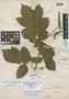 Paullinia dasystachya Radlk., BOLIVIA, M. Bang 2815, Isolectotype, F