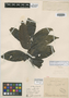 Paullinia ingaefolia Rich., L. C. M. Richard, Isotype, F
