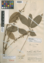 Paullinia integra Cuatrec., COLOMBIA, J. Cuatrecasas 15445, Holotype, F