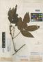 Paullinia interrupta Benth., R. Spruce, Isotype, F