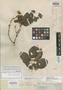 Paullinia lachnocarpa Radlk., ECUADOR, R. Spruce 6011, Isolectotype, F
