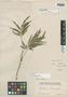 Paullinia linearis Radlk., PERU, E. F. Poeppig, Isotype, F