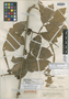 Paullinia metensis Killip & Cuatrec., COLOMBIA, J. Cuatrecasas 4308, Isotype, F