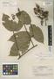 Paullinia scaberula R. E. Schult., A. Ducke 1628, Isotype, F