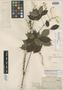 Paullinia sphaerocarpa Rich. ex Juss., FRENCH GUIANA, L. C. M. Richard, Isotype, F