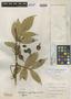 Paullinia spicithyrsa Cuatrec., COLOMBIA, A. E. Lawrance 481, Holotype, F