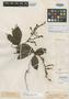 Paullinia stipularis Benth. ex Radlk., R. Spruce 1856, Isotype, F