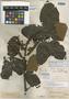 Paullinia subcordata Benth. ex Radlk., ARGENTINA, R. Spruce 1442, Isosyntype, F