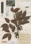Paullinia vaupesana Killip & Cuatrec., COLOMBIA, J. Cuatrecasas 7110, Isotype, F