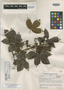 Paullinia vaupesana var. macayana R. E. Schult., COLOMBIA, R. E. Schultes 5430, Isotype, F
