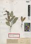 Bumelia bahamensis Britton, BAHAMAS, N. L. Britton 295, Isotype, F