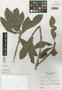Pouteria briocheoides Lundell, GUATEMALA, E. Contreras 20314, Isotype, F