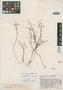 Lindernia brachyphylla Pennell, VENEZUELA, J. A. Steyermark 58522, Isotype, F