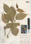Image of Solanum armentalis