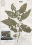 Image of Solanum pastillum