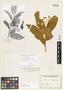 Solanum rufescens Sendtn., BRAZIL, F. Sellow, Possible type, F
