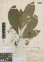Peltanthera floribunda image