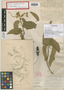Helicteres spiralis Northr., BAHAMAS, J. I. Northrop 645, Possible type, F